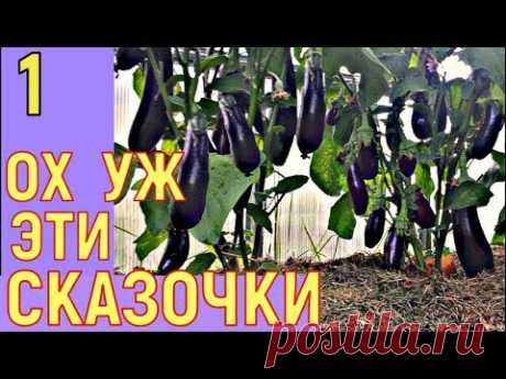 МИФЫ О ВЫРАЩИВАНИИ БАКЛАЖАНОВ в теплице - YouTube