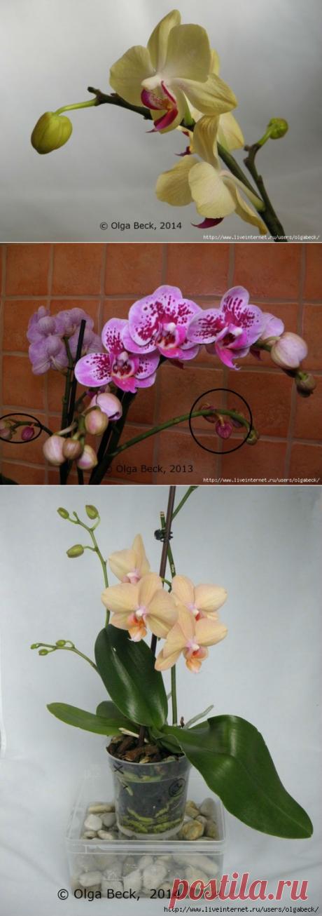 Почему у орхидеи вянут цветы и бутоны. Проблемы цветения.
