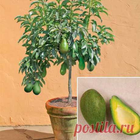 Комнатное растение Авокадо (Persea). Авокадо изредка разводят как декоративно-комнатное растение. В природе это высокое дерево, достигающее 20 м в высоту. В домашних условиях авокадо за несколько лет может вытянуться до 1 м. Растение легко вырастить из косточки, которую зарывают тупым концом в землю. Острый конец должен приподниматься над уровнем почвы. Рекомендуется ежегодная пересадка. Авокадо, выращенное из косточки в домашних условиях не цветет и не плодоносит.