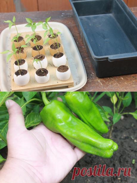 Пять месяцев длился эксперимент, посадил семена болгарского перца в яйцо, показываю, какой богатый урожай я собрал | Генератор идей | Яндекс Дзен