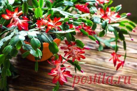 Цветок декабрист: размножение и особенности ухода | Идеальный огород | Яндекс Дзен