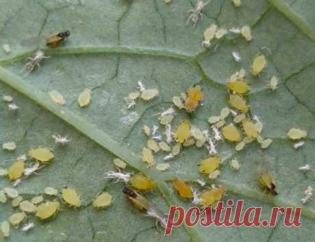 Избавляемся от тли, слизней, муравьев и гусениц одним ударом               Какие только вредители не нападают на огород: тля, гусеницы, слизни, медведки, мухи, бабочки, муравьи, проволочник... И все норовят полакомиться нашими растениями и будущим урожаем. К со…