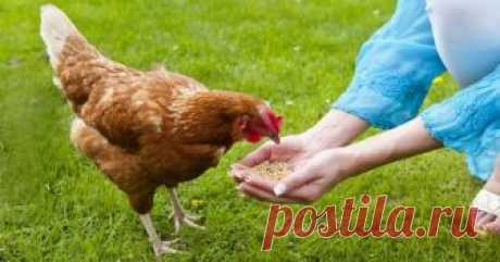 Чем кормить кур, чтобы они лучше неслись Чем кормить кур, сколько раз в день это делать, какие добавки выбрать и как добиться круглогодичной яйценоскости? Все эти вопросы терзают начинающих фермеров, которые решили завести несушек.