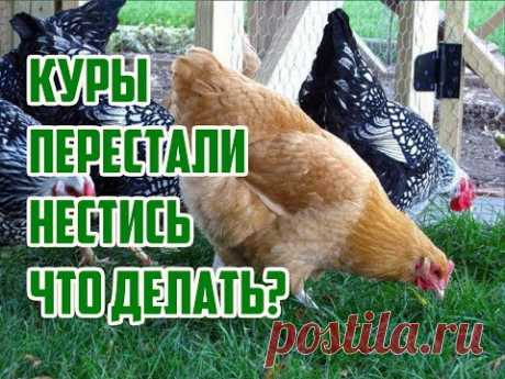 Why hens do not rush? \/ What to do if hens ceased to rush? \/ Why hens ceased to lay eggs