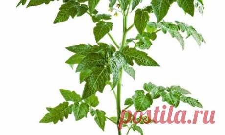Los consejos útiles: como cultivar correctamente las plantas de los tomates