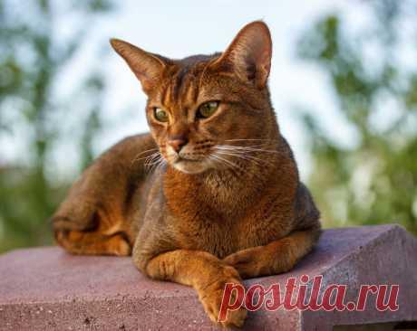 ¿Que razas de las gatas se consideran más inteligente?