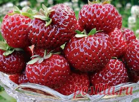 7 BEST GRADES OF LATE STRAWBERRY