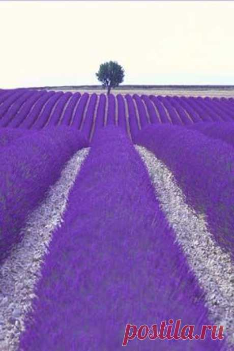 Безумной красоты лавандовые поля. Бесподобный фиолетовый цвет. Неужели бывает такой яркий цвет или это фотошоп?╭⊰✿.¸¸Ꭿℓℓ Ꮭąⱴҽɳɖҽɽ.¸¸.✿⊱╮