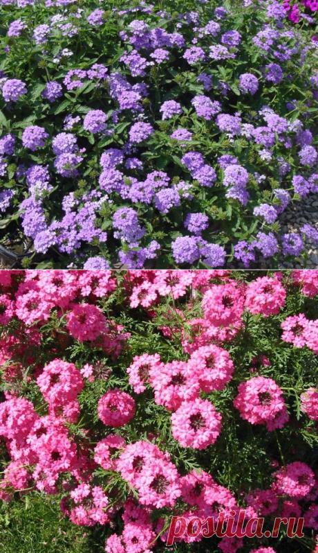 Вербена ампельная: фото и выращивание из семян