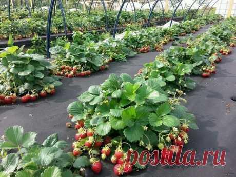 50 урожайных идей для клубничной грядки своими руками | Живу за городом