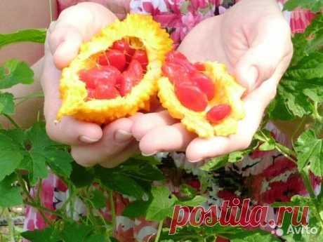 Семена плодовой экзотики. Растет как сорняк купить в Ставропольском крае на Avito — Объявления на сайте Авито