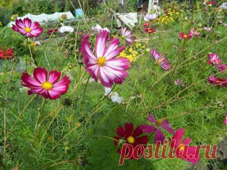 Посадила нынче космеи - получился очень красивый и яркий цветник Посадила нынче космеи - получился очень красивый и яркий цветник Собери букет цветов. Узнай название цветов, красивые цветы для любой девушки. Какие растения цветы, а какие нет. Сделай цветник своими руками и проверь как посажены цветы.