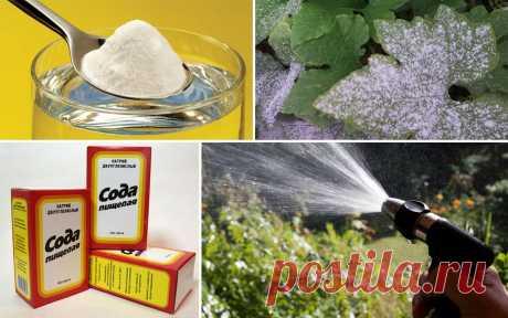 Обработка винограда пищевой содой для профилактики заболеваний