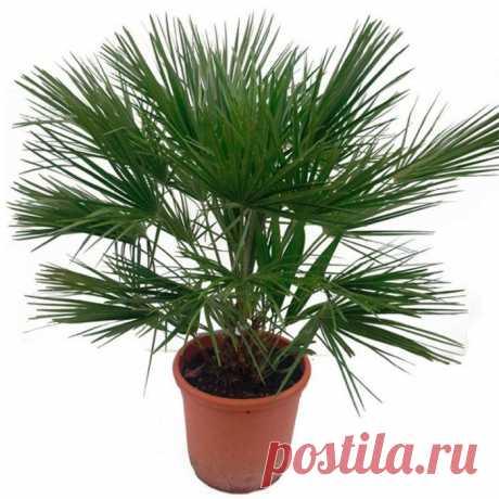 Хамеропс (веерная пальма) Такой род, как хамеропс (Chamaerops) имеет прямое отношение к семейству пальмовые (Palmae) либо арековые (Arecaceae). В данном роду имеется лишь один вид ― хамеропс приземистый (Chamaerops humilis). В...