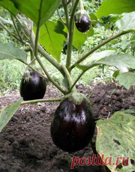 Баклажаны: секреты отличного урожая