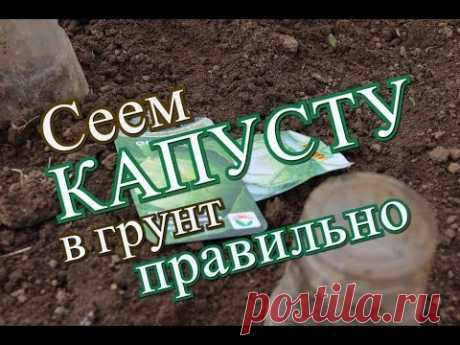 As it is correct to seed cabbage in soil. (17.05.2016)