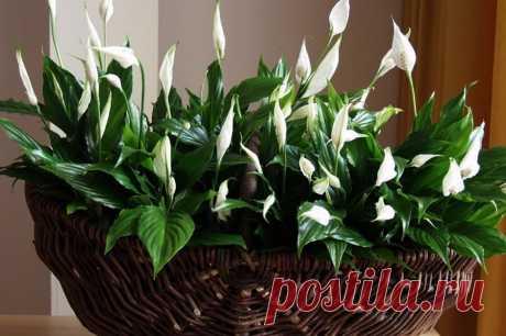 Цветок Женское счастье - Спатифиллум » Женский Мир