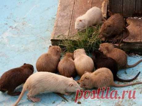El contenido de las nutrias en las condiciones de casa: los rasgos de la cultivación, los modos de la alimentación y la profiláctica de las enfermedades