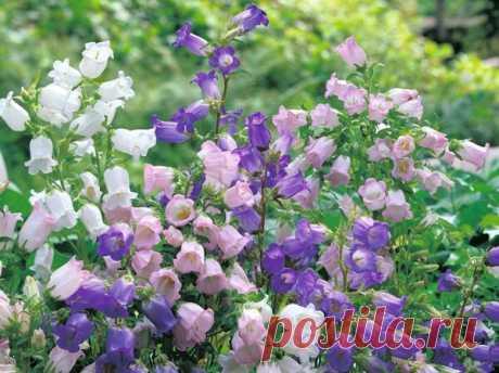Популярные и красивые двулетники для сада   Дача, сад, огород, рыбалка, рецепты, красота, здоровье