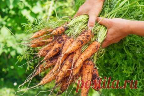 Что полезнее — вершки или корешки морковки? Сравнительная таблица содержания полезных веществ. Фото — Ботаничка.ru