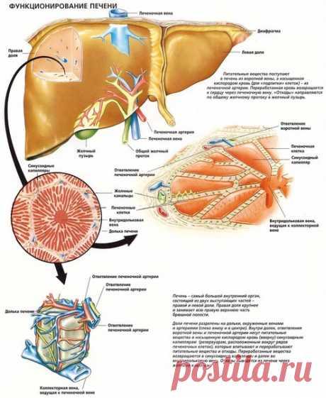 Интересные факты о печени человека🤓  / Медицина для всех