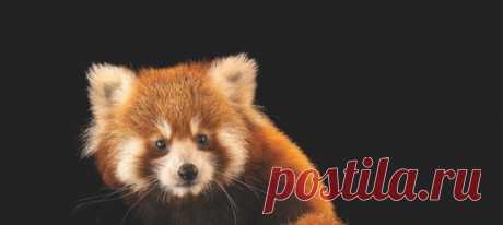 Чтобы создать семью, малым пандам нужно много времени: самки могут спариваться лишь раз в году – и только в течение суток. К всеобщей радости, романтическая история двух панд из Новой Зеландии завершилась появлением на свет нового представителя редкого вида.