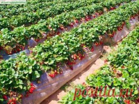 ПОЛЕЗНЫЕ СОВЕТЫ :   Как самостоятельно размножить клубнику.  1. Размножение клубники усами в рассадных горшочках Когда кусты клубники плодоносят, отметьте для себя самые сильные, развитые и перспективные для размножения растения. Уделите внимание плодам (ягодам), они должны быть примерно одинакового размера. Показать полностью…