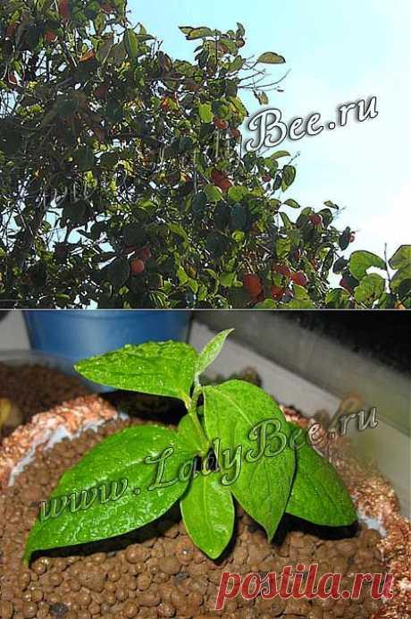 Хурма (Diospyros) - комнатные растения и цветы для сада: выращивание, местоположение, температура, полив, пересаживание, размножение, болезни и вредители