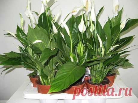 Энергетически сильные комнатные растения | Полезные советы домохозяйкам