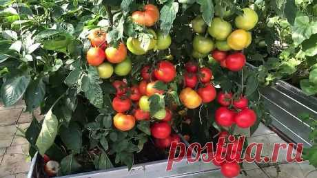 4 томата в ОДНУ ЛУНКУ, или как ФОРМИРОВАТЬ помидоры, в 1 или в 2 стебля.