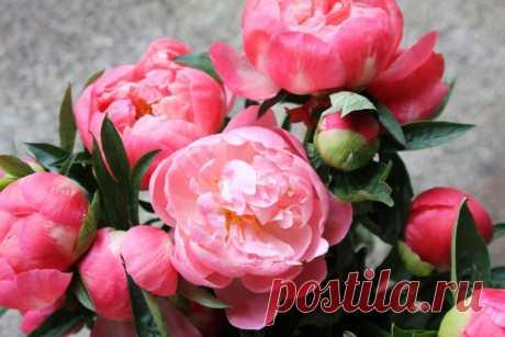 12 фактов о пионах, которые нужно знать не только флористам