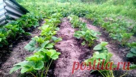 Особенности подкормки клубники после цветения и в период плодоношения