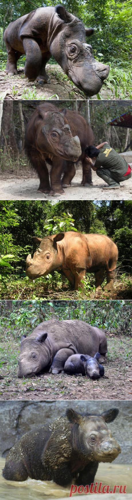 Смотреть изображения суматранских носорогов | Зооляндия