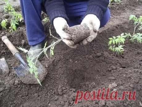 """Высаживание рассады помидор и сроки высаживания в теплицу; подготовка рассады Томаты к высадке на грядку начинают готовить за 2-3 недели. Вначале уменьшают поливы и увеличивают проветривание. На несколько часов открывают форточку, снижая температуру в комнате на 3-5°С, """"выгуливают"""" растения на лоджии или на балконе. Можно подкормить растения золой из расчета 1 стакан на 10 л воды. За 7-10 дней до высадки поливы и вовсе прекращают, чтобы питомцы не переросли. Хотя, конечно, если листья заметно з"""