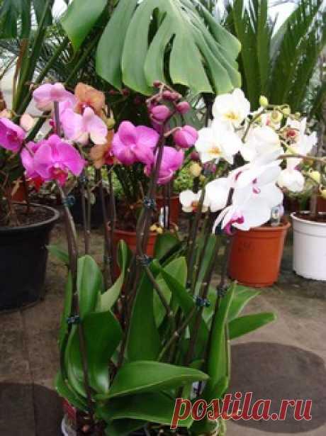 La reproducción de las orquídeas - la orquídea, la reproducción, el suelo, el puchero, la huida, el rizoma, psevdobulba