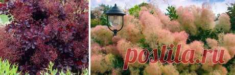 Как вырастить скумпию - украшение сада - Садоводам и огородникам