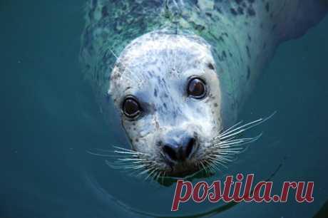 Видео: тюлени поют мелодию из «Звездных войн» Ученые из Великобритании научили длинномордых тюленей повторять звуки и петь.