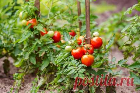 Экономный способ выращивания рассады томатов. Из одного семечка до 10 растений!!!