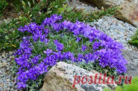 Эдрайантус — альтернатива колокольчикам на альпийских горках. Выращивание и уход.