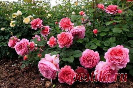 Когда лучше всего обрезать розы на участке: осенью или весной? Роза – это универсальный цветок, с помощью которого можно украсить любой приусадебный участок. При выращивании данной культуры рекомендуется обеспечить соответствующий уход за ней. Основным аспектом у…