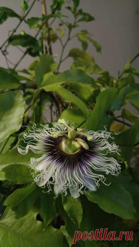Пассифлора съедобная, или маракуйя (Passiflora edulis)