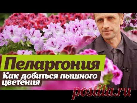 Выращивание пеларгонии. Секреты пышного цветения