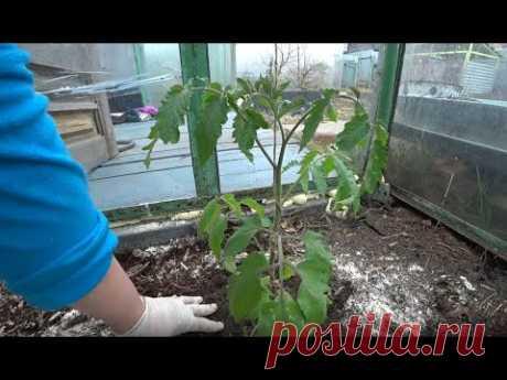 Секреты высадки томатов в теплицу