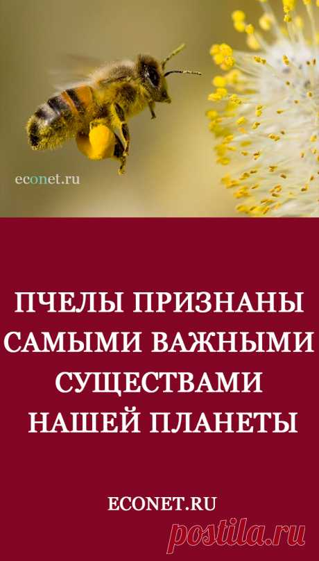 Пчелы признаны самыми важными существами нашей планеты  Пчелы – не просто насекомые, которые дают нам мед, они играют огромную роль в жизни каждого человека. Гибель пчел может привести к гибели всей человеческой цивилизации. За последние 10 лет численность диких пчел снизилась практически на 30%, а количество домашних сократилась вдвое.