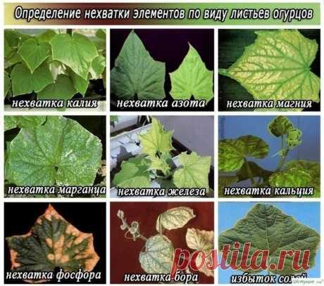 Los síntomas de la falta de los microelementos cerca de los pepinos