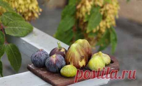 Сорта инжира: описание и рекомендации по выбору разновидности для выращивания.