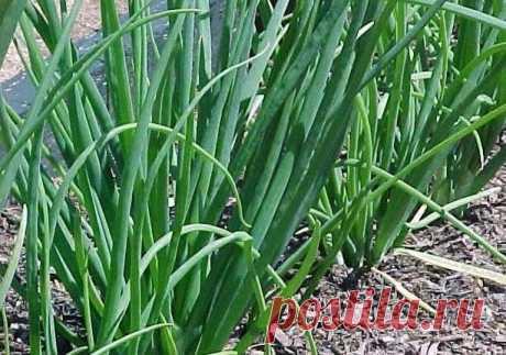 Как вырастить хороший урожай лука? 10 секретов ухода за луком | 6 соток
