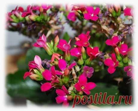 Каланхоэ Блоссфельда - лечебные свойства, фото, уход, размножение из семян