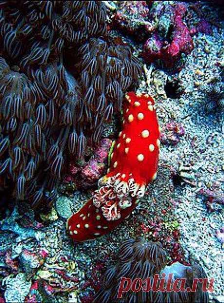 Nudibranch seaslug blue , from Iryna   Under The Sea