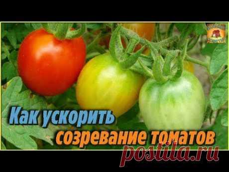 Как ускорить созревание томатов. Самые лучшие способы доступные абсолютно всем. Дачные хитрости - YouTube